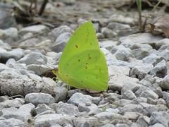 Cloudless Sulphur (jdf_92) Tags: indiana yellowwoodstateforest butterfly sulphur cloudlesssulphur phoebissennae yellow