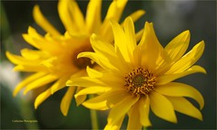 September colors ... (Une femme ...) Tags: flower marguerite daisy jaune yellow pistil