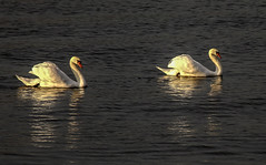True Masterpieces of Nature . . (Eduard van Bergen) Tags: zwanen water birds swans winter december master piece nature natuur swimming floating