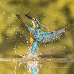 another ballet star (pixellesley) Tags: kingfisher alcedoatthis bird mammal animal hunting fishing prey fish feeding birwatching water river wild marshland hide male action flying lesleygooding