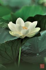 DSC_4559 (YYDB) Tags: 2012 lotusflower