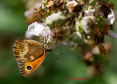 Gatekeeper, Somerton, Somerset (Explore 13 August 2012) (predman69) Tags: orange brown sun macro butterfly insect somerset explore gatekeeper bramble somerton elementsorganizer