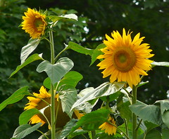 Sunflowers . (Franc Le Blanc) Tags: flowers summer nature lumix high flora panasonic sunflower drunen volkstuinen