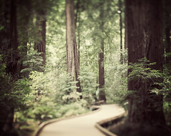 (IrenaS) Tags: california trees nature landscape muirwoods redwoods pacificcoast wwwirenesuchockicom