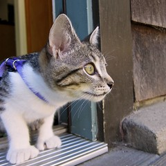 Going Outside! (Ellen Soohoo) Tags: cat outside kitten toes leash paws izzy extra polydactyl mitten feral