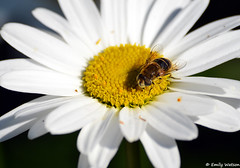 Bee collecting nectar from a daisy