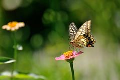 キアゲハ   Papilio machaon (myu-myu) Tags: nature japan butterfly insect nikon ngc explore zinnia swallowtail 昆虫 papiliomachaon ヒャクニチソウ zinniaelegans ジニア チョウ explorefrontpage キアゲハ d300s afsvrzoomnikkor70300mmf4556g