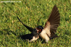 Happy Families - Barn Swallows Explored (gcampbellphoto) Tags: bird nature wildlife barnswallow hirundorustica migrant hirundine irishwildlife gcampbellphotocouk