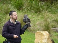 Barking Owl (Mark_Bellingham) Tags: australia melbourne barkingowl