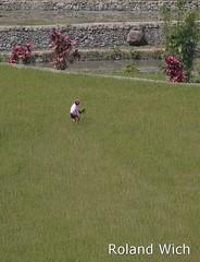 Philippines - Hapao Rice Fields (Rolandito.) Tags: woman rice terrace philippines terraces fields banaue batad pilipinas luzon philippinen hapao reisterrassen