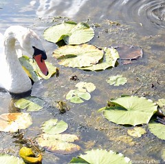 Swan's Water World (Annette LeDuff) Tags: lake bird nature water swan muteswan favorited kensingtonmetropark wildwinglake milfordmi cherryontopphotography photoannetteleduff annetteleduff includedingalleries 07262012