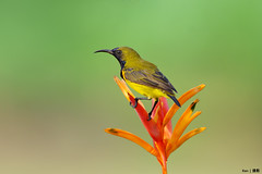 Sunbird on plant (kengoh8888) Tags: wild cute green bird yellow pose pentax background clean perch avian creamy k5 sunbird smallbird