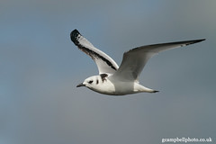 Young Kittiwake (Rissa tridactyla) (gcampbellphoto) Tags: bird nature wildlife gull atlantic migration passage seabird kittiwake rissatridactyla irishwildlife gcampbellphotocouk