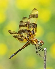 Halloween pennant in yellow wildflowers (Vicki's Nature) Tags: brown male yellow canon georgia gold dragonfly bokeh stripes ngc npc wildflowers immature s5 biello halloweenpennant 8452 vickisnature storybookwinner bwcgenchanting storybookmostrecentpage readygm