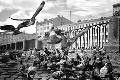 ... (Mikhail Pinchenkov photographer) Tags: street leica city travel blackandwhite bird nature landscape russia dove birdworld bwblackwhite staintpetersburg summicronr35
