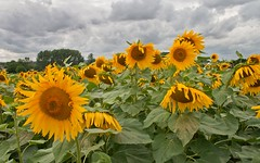 IMG_6406 (roguesgallery17) Tags: field sunflowers sunflower hertfordshire hitchin sunflowerfield hitchinlavender hitchinlavenderfarm