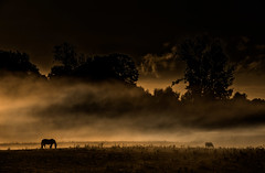 grazing (e christopher drake, away for awhile, again) Tags: horses silhouette fog oregon landscape dawn farms grazing sauvieisland horseisland