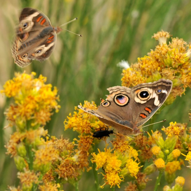 Frisky Common Buckeye (Junonia coenia) butterflies on Scale Broom (Lepidospartum squamatum, Asteraceae) - thinking about mating