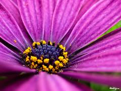 African Daisy - Osteospermum (monteregina) Tags: flowers blue plants canada macro