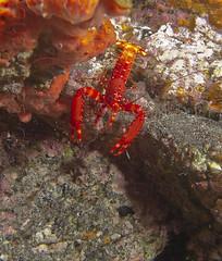 Enoplometopus antillensis (Cigala canaria) (antoniocamacho) Tags: sea naturaleza canon mar underwater canarias nocturna animales canaryislands buceo crustaceos submarinas invertebrados acamacho naosub