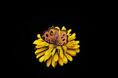 Butterfly and flower (e.nhan) Tags: flowers black flower nature closeup daisies butterfly butterflies backlighting enhan