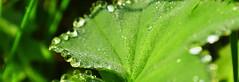 Blattgrn (Erzer) Tags: morning plant green nature water wasser natur pflanze drop tau grn blatt morgen tropfen frh natrlich