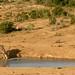Kudu macho bebendo agua