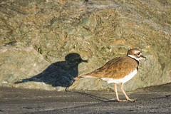 Killdeer and his shadow (alicecahill) Tags: california ca shadow wild usa bird animal rock killdeer centralcoast slocounty shorebird