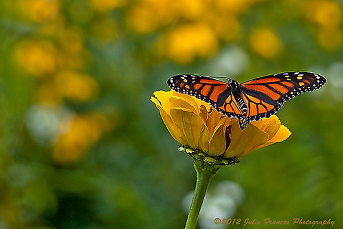 Male Monarch