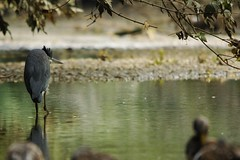 Heron's bad mood... (Jonh Casey) Tags: bird heron nature hair nikon day mood bad oiseau hron mauvaise humeur d300s