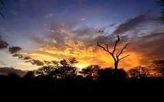 Dead silhouette - Tanzania (Christophe Paquignon) Tags: africa travel sunset tree colors silhouette de dead tanzania photography soleil african mort picture coucher serengeti arbre tanzanie