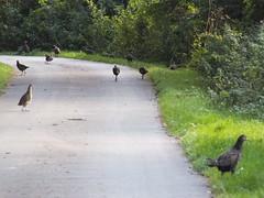 Grey Partridges Pencaitland (William_H) Tags: grey partridges pencaitland