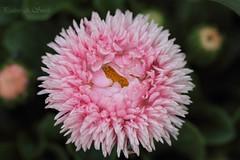 'Daisy' (ppaulinesm) Tags: pink flowers flower macro nature gardens canon garden oz australia 100mm daisy ferns dslr angiosperm 600d worldflowers 100mmf28lmacro hennysgardens