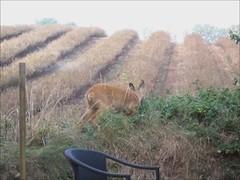 Roe-deer (Helanker) Tags: video roedeer