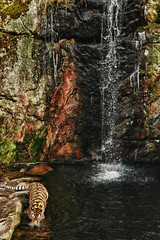 Tiger, Bors (carloprisco) Tags: street city people urban italy nature animals photography zoo landscapes waterfall nikon sweden tiger gothenburg places bn positano carlo hdr bors prisco d3100
