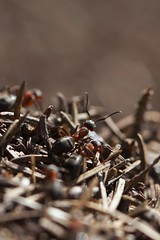 The raise of the red workers (Cano Vääri) Tags: fauna bugs ants formicarufa redwoodant