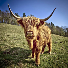 horny (Jez Blake) Tags: cow cattle dale horns highland horny shaggy welton eastyorkshire