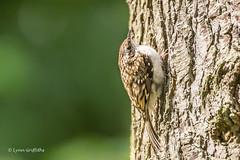 Treecreeper D50_2909.jpg (Mobile Lynn) Tags: wild england bird nature birds fauna unitedkingdom wildlife gb songbird rothbury songbirds treecreeper passeriformes certhiidae passeri oscines
