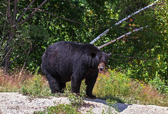 One of the locals ((nature_photonutt) Sue) Tags: blackbear ironbridgeontariocanada