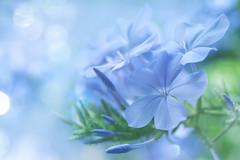 magical plumbago (C-Smooth) Tags: plumbago flowers nature bokeh macro garden plants plantae delicate beauty magical closeup