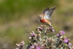 Linotte mlodieuse (Tifaeris) Tags: cardueliscannabina commonlinnet fringillids linottemlodieuse passriformes bird oiseau