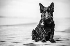 little big personality (Philip Schulze) Tags: beautiful blackwhite schwarzweis digital black dog little cute sweet scottish terrier