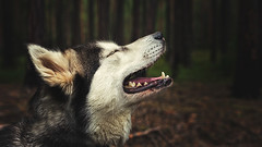 longing reunion (Maria Nenenko) Tags: marinino marininoart art fineart picture pic best forest nature husky wolf dog animal series story storytelling fairytale vivid color roar bark conceptphotos