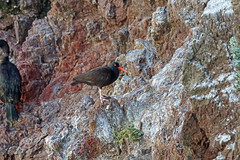 Black Oystercatcher, Big Sur, Monterey, California (Terathopius) Tags: california usa blackoystercatcher haematopusbachmani bigsur andrewmolerastatepark montereycounty