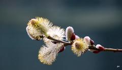 Spring Garden (pnaudi) Tags: garden tree outdoors blossom bloom budding emerging pollen