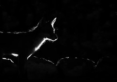 Fox (Mike Mckenzie8) Tags: red mammal night time flash photography back lighting lit wild wildlife british uk silhouette alert canon outdoor hunter hunting