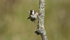 European Goldfinch (Margaret S.S) Tags: european goldfinch