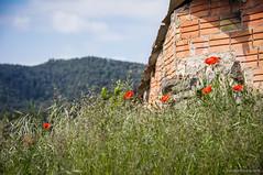 Recalling spring (SantiMB.Photos) Tags: 2blogger 2tumblr 2ig amapolas poppies cobertizo barn primavera spring flores flowers alpens lluans osona sal18250 geo:lat=4211852431 geo:lon=209910757 geotagged cataluna espaa esp