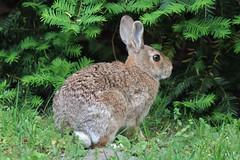 (spotboslow) Tags: mountauburncemetery cambridge watertown massachusetts easterncottontail rabbit