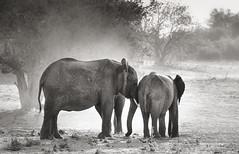 Tenderness, Chobe National Park, Botswana (Poulomee Basu) Tags: elephant conservation elephantconservation blackandwhite animalsinblackandwhite love nature naturephotography naturelovers natureandnothingelse animals tranquil adventure safari botswana chobe nikon nikond90 nikond90club herd family stopthetrade ivoryfree